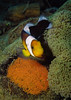 Saddleback anemonefish with eggs