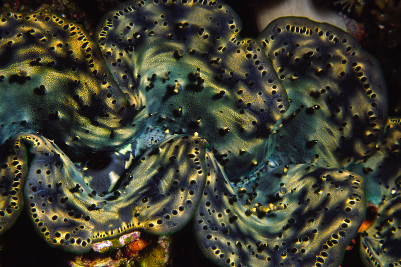Giant clam detail