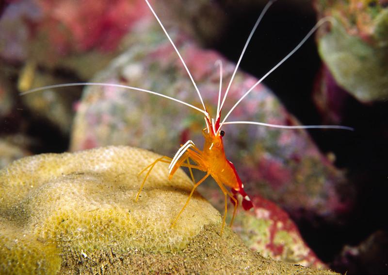 White-banded cleaner shrimp