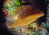 Orange striped feather duster worm