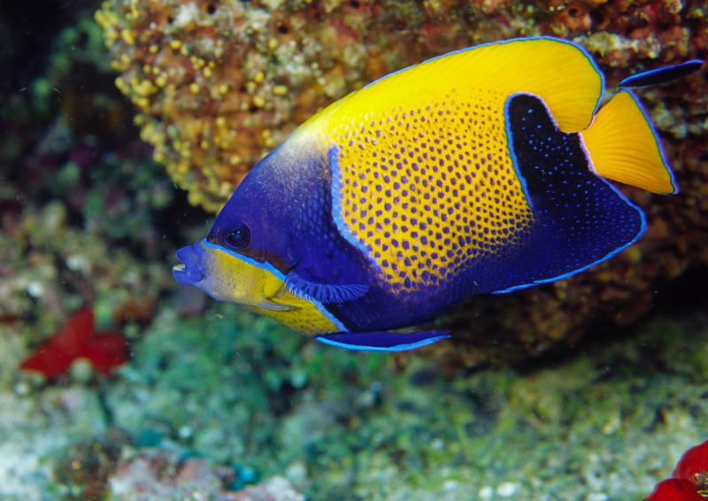 Blue-girdled angelfish and bluestreak cleaner wrasses