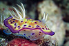 Chromodoris kuniei nudibranch
