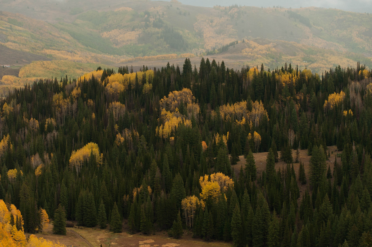 Fall Aspens in Brighton, Utah