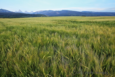 Barley in Teton Valley
