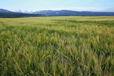 Barley in Teton Valley