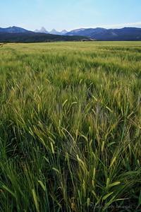 Barley fields in Teton Valley, Idaho (and Wyoming)
