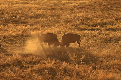 Sunset Showdown in the Lamar Valley - Yellowstone National Park