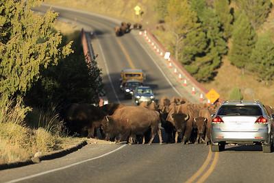 Buffalo Jam on the Yellowstone River Bridge - YNP