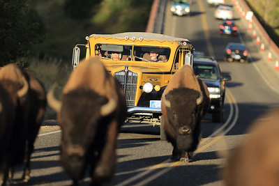 Two iconic symbols of Yellowstone National Park - the yellow tour buses and the bison.