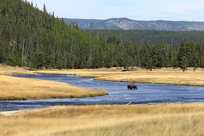 Lonely Bison - Yellowstone National Park