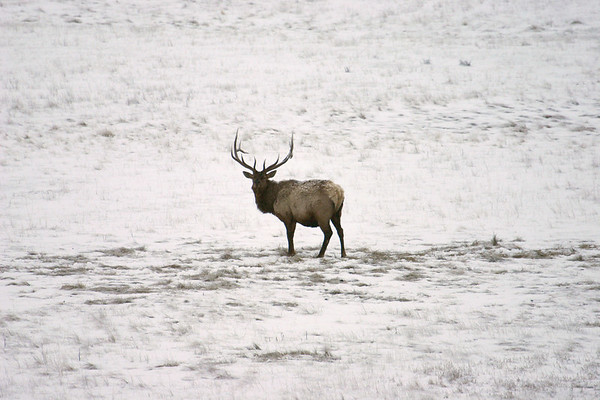 This was taken at the National Elk Refuge in Jackson Hole, Wyoming.  Approximately 6,000 elk spend their winter in the southern end of Jackson Hole each year.