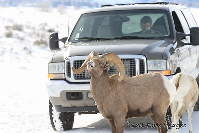 Bighorn Ram doing a lip curl at the National Elk Refuge - Jackson Hole, Wyoming