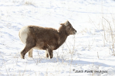 Bighorn Lamb at the National Elk Refuge - Jackson Hole, Wyoming