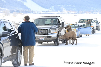 Wyoming Carwash - Bighorn Sheep at the National Elk Refuge - Jackson Hole, Wyoming
