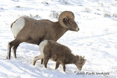 Bighorn Sheep at the National Elk Refuge - Jackson Hole, Wyoming