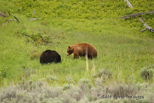 Black Bears near the Roosevelt Lodge.  Yellowstone National Park, Wyoming.