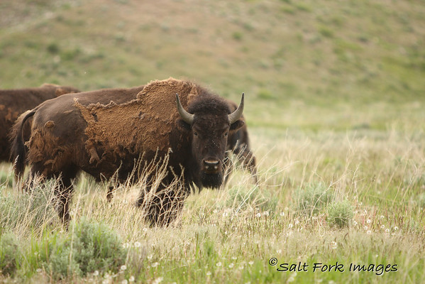 Bison with remains of winter coat.