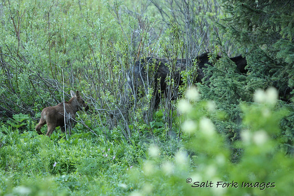 All I got was a fleeting glimpse of this cow and calf moose in Teton Canyon.