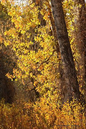 Actual fall color.  Grand Teton National Park - Wyoming