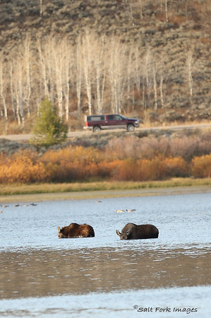 Cow and calf moose taking the plunge in Oxbow Bend.