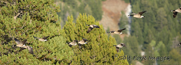 Canada geese in Grand Teton National Park - Wyoming