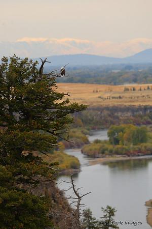 A bald eagle surveys the Snake River in Southeastern Idaho.