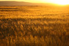 Amber Waves of Grain - Teton Valley, Idaho
