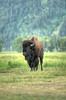 Bison at Antelope Flats - Grand Teton National Park - Jackson Hole, Wyoming - July 2013