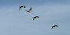 Canada geese in flight over the Snake River in NW Wyoming.