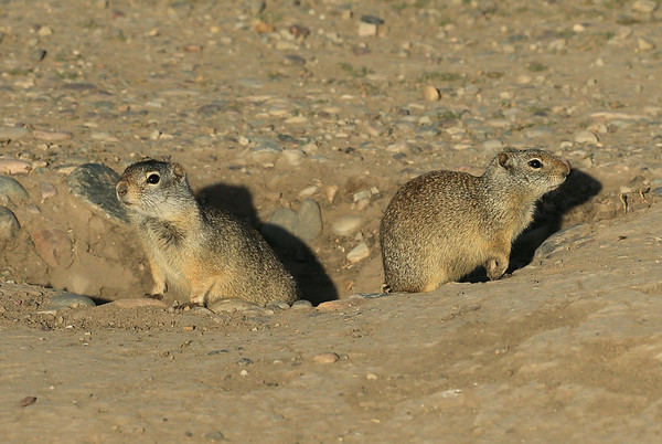 A couple of pikas (piki?) peak out to see what's going on at Mormon Row - Jackson Hole, Wyoming
