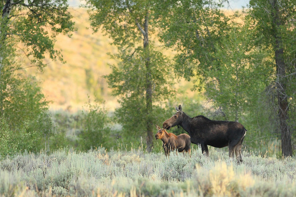 Single Mother:  Grand Teton National Park, Wyoming.