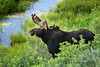 Moose in Grand Teton National Park, Wyoming.