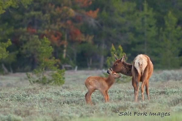 Elk cow and calf.  Grand Teton National Park, Wyoming.  June 21, 2010.