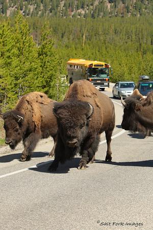 Traffic jam - Yellowstone National Park