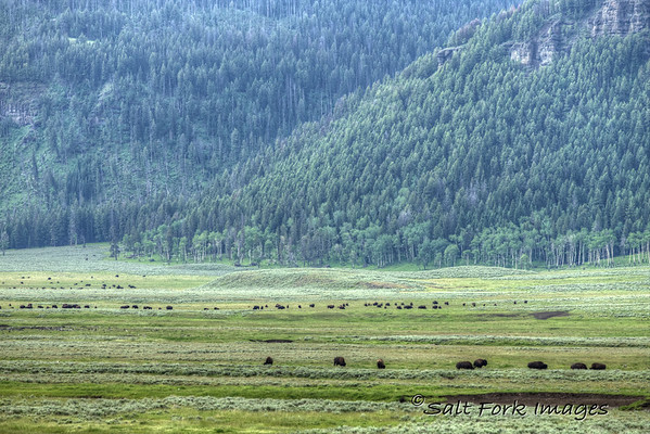 Bison herds in Lamar Valley - Yellowstone National Park