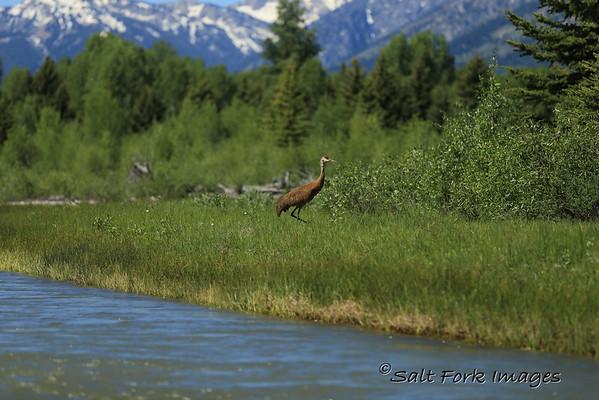 Sandhill Crane on the Snake River - Jackson Hole, Wyoming