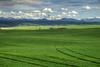 Barley fields of Teton Valley, Idaho