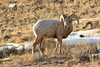 Rocky Mountain Bighorn Sheep - National Elk Refuge - Jackson Hole, Wyoming