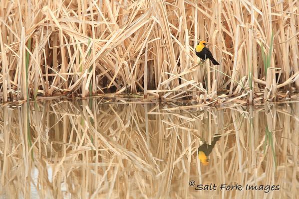 Yellow-headed Blackbird.