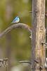 Mountain Bluebird - YNP