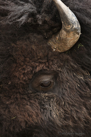 American Bison - up close and personal