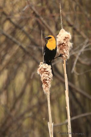 Yellow-headed blackbird - Jackson, Wyoming
