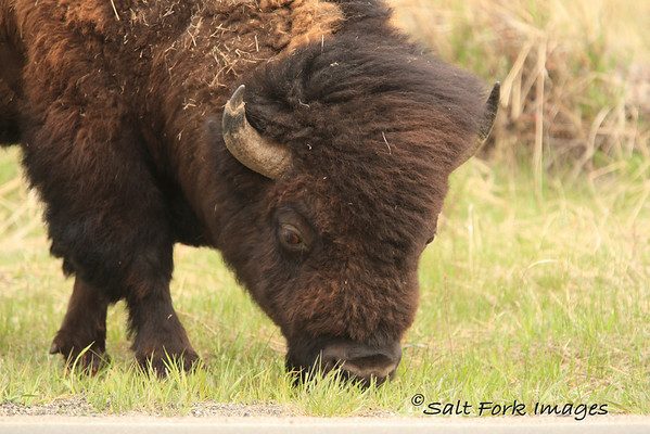 Bison comb-over!