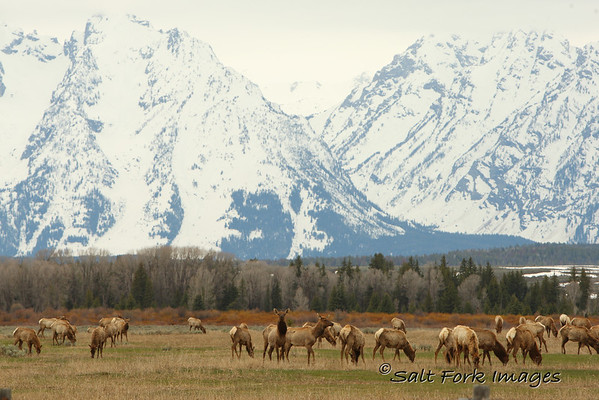 A herd of cow elk in Grand Teton National Park.