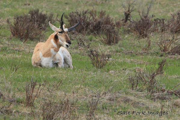 A young pronghorn buck sings a soulful song about life on the prairie:  .....where the deer and the antelope play.......