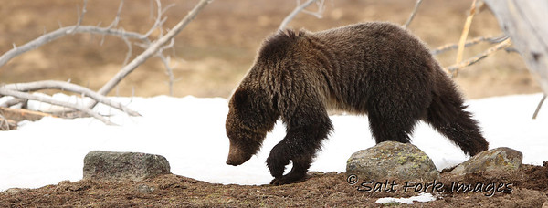 Young Grizzly Bear in Yellowstone National Park - Wyoming