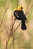 Yellow-headed Blackbird.
