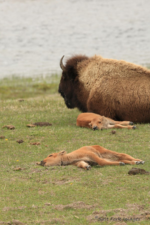 Being born is hard work.  These calves were very fresh.  YNP