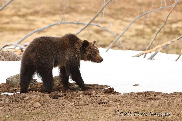 Grizzly Bear - YNP