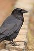 Annoying black bird